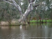Mature River Red Gums are impressive trees and provide important habitat.