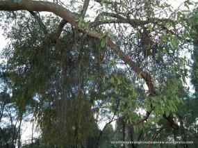 Creeping Mistletoe and Drooping Mistletoe on this Narrow-leaf Peppermint.