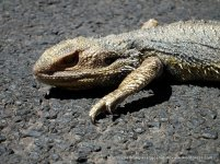 The Eastern Bearded Dragon (Pogona barbata)