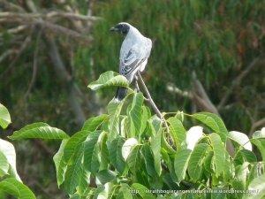 Adult Black-faced Cuckoo-shrike atop a large walnut tree.