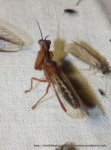 Mantid Fly, Mantid Lacewing (Neuroptera) Campion ?callosus