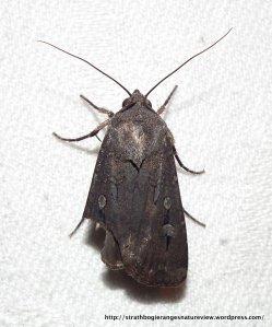 Bogong Moth (Agrotis infusa)