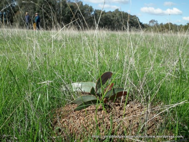 Golden Wattle and ant nest in Grassy Woodland, Violet Town, Vic.