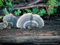 One of the many wood-digesting fungi, the Rainbow Bracket Fungus (Trametes versicolor)