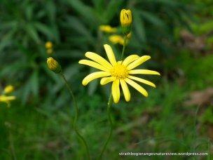 A flowering Variable Groundsel (Senecio pinnatifolius).