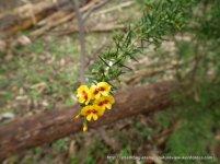 Prickly Bush-pea, Pultenaea juniperina.