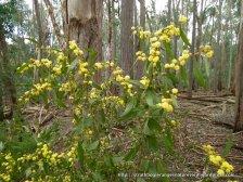 Varnish Wattle, Acacia verniciflua.