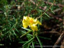 Hibbertia sp.
