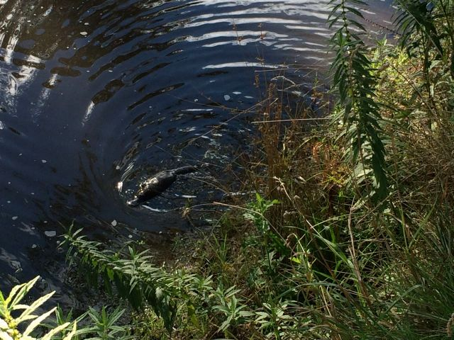 As the ripple got closer, the Platypus was clearly visible swimming on the surface. (Image, M. Warren)