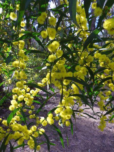 Varnish Wattle, Acacia verniciflua (I. Herbert)