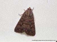 Hypoperigea tonsa, Noctuidae.