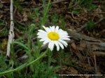 Tall Daisy (Brachyscome diversifolia)