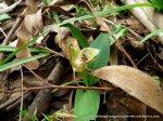 Common Bird orchid (Chiloglottis valida)