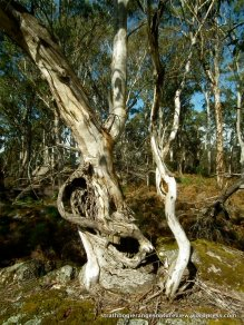 Ancient, gnarled Snow Gum (Eucalyptus pauciflora) growing out of near-solid rock.