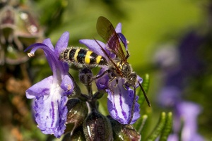 Flower Wasp (Pic from wildpollinatorcount.com)
