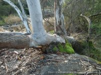 This River Red Gum branch has developed an amazing, moss-covered callus where it rests on the boulder.