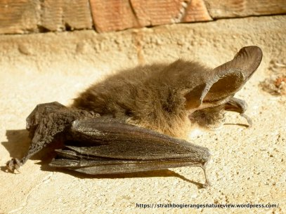 The Lesser Long-eard Bat (Nyctophilus geoffroyi).