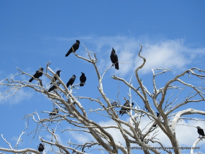 Large flocks of ravens congregate in these mountains over Summer.