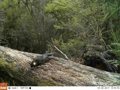 Yelleo-tailed Black-cockatoo