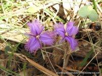 The stamens seem to beckon (Thysanotus tuberosus)