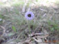 Common Bottle Daisy (Lagenifera stipitata)