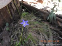 Bluebell (Wahlenbergia ?gracilenta)