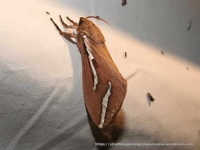 Abantiades latipennis