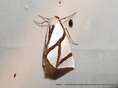 Thalaina clara, Clara's Satin Moth