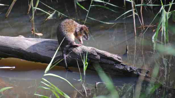 Native water rat 04