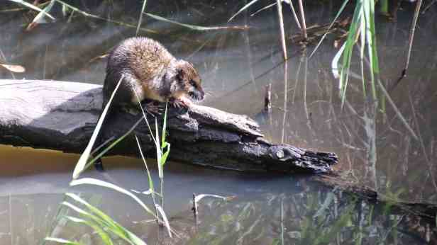 Native water rat 03