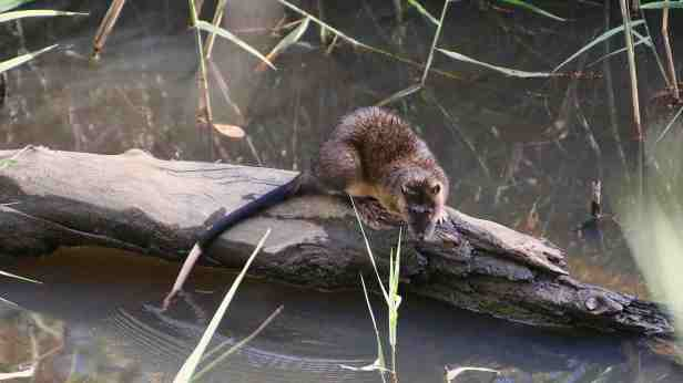 Native water rat 06
