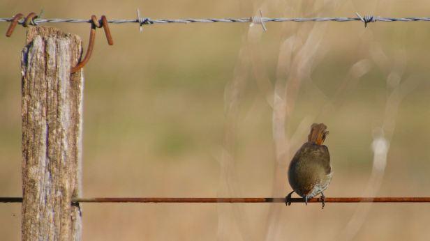 brown thornbill 01