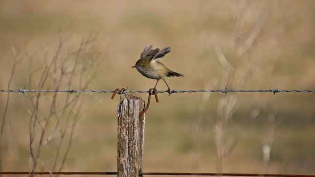 brown thornbill 05