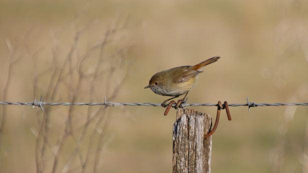 brown thornbill 03
