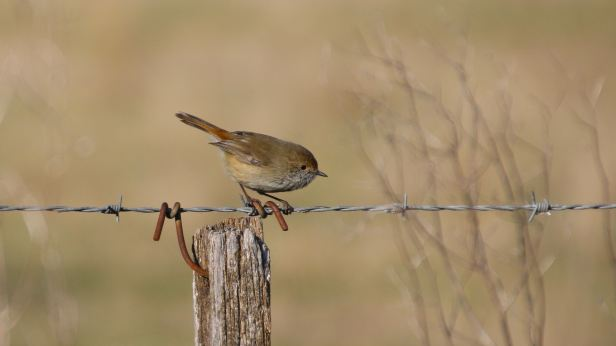 brown thornbill 02