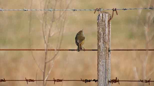 brown thornbill 04