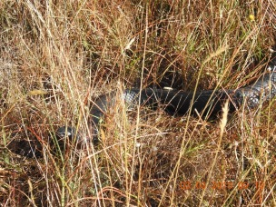 This Red-bellied Black Snake watched as we passed