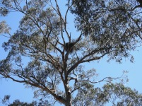 Wedge-tailed Eagle's nest high in a Blue Gum