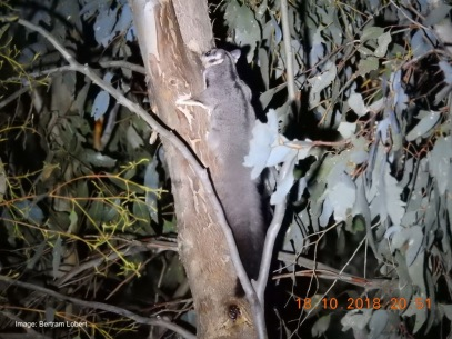 Squirrel Gliders often freeze in strong white light.