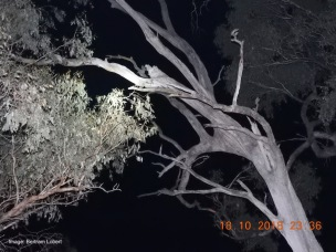 A Squirrel Glider den tree - an old Grey Box.