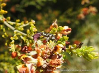 Weevil on Gorse Bitter Peaesia ulicifolia