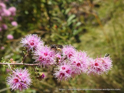 Native bee on Kunzea