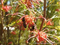 Honey bee on Grevillea