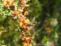 Hover fly Simosyrphus grandicornis?