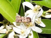 Moth (Noctuidae, Agrotis?) in orange blossom