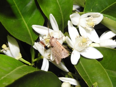 Moth (Noctuidae, Hadeninae) in orange blossom