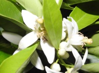 Tiny moth in orange blossom