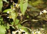 Hoverfly Syrphidae Melangyna?