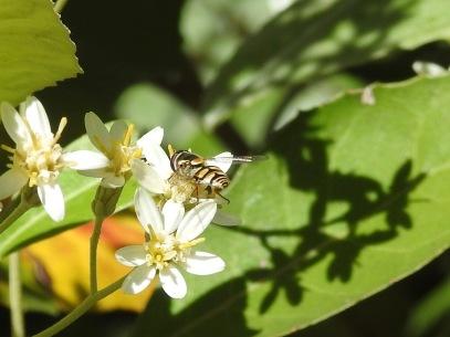 Hoverfly (Simosyrphus grandicornis?)on Musk Daisy Bush (Olearia argophylla)