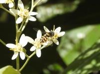 Hoverfly (Simosyrphus grandicornis?) on Musk Daisy Bush (Olearia argophylla)